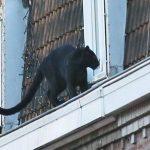 Από ζωολογικό κήπο είχε κλαπεί ο πάνθηρας που περιφερόταν σε πόλη της Γαλλίας