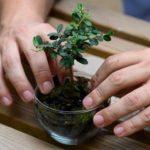 Η PlantBox τυποποιεί μικρά δεντράκια ελιάς, συγκεκριμένων προδιαγραφών και τα εξάγει